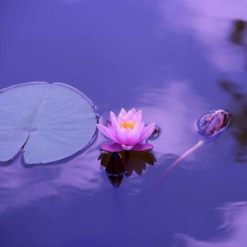 flor de loto mha